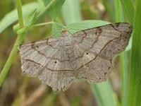 ウスオエダシャク Chiasmia hebesata - 写ればおっけー。コンデジで虫写真