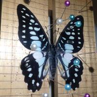 ミカドアゲハ - 蝶と