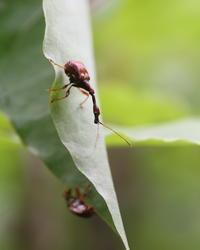 ヒゲナガオトシブミ の交尾、揺籃作り - 虫 みっけ!