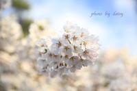 圧倒的桜。2017 <北海道の桜> - ロマンティックフォト北海道☆カヌードデバーチョ