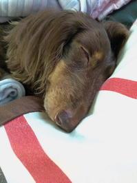 愛犬チョコが10歳に - 無題