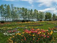開通した中島橋を通って・・「紫竹ガーデン」満開のチューリップ - 十勝・中札内村「森の中の日記」~café&宿カンタベリー~