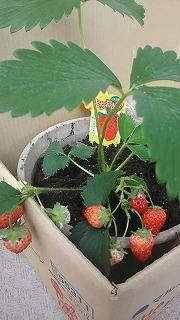 完熟イチゴ - ~ワンパク五歳児子育て中~