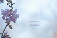 圧倒的桜。2017 ~桜人(さくらびと)~ - 日々のかけら