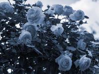 青い薔薇 - 一人の読者との対話