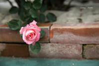 バラと私の時間 ♪ - Lovely Poodle