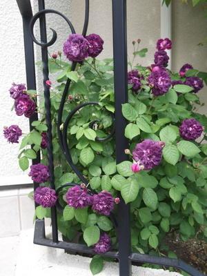 フロントガーデンのお花たち - 小さな花アトリエ