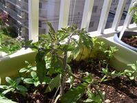 トマト苗の定植 - nshima.blog