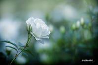 ☆ 白い薔薇 ☆ - Trimming