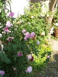 薔薇も過ぎゆく - hibariの巣