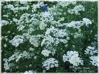 Orlaya Paradise - Garden Diary