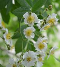 咲きだしたバラ と 抹茶ティラミス - my story***
