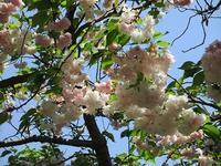 色んな種類の八重桜 - つれづれ日記