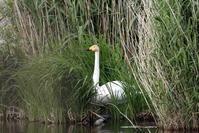 MFの公園の沼での(ハクチョウ) - 私の鳥撮り散歩