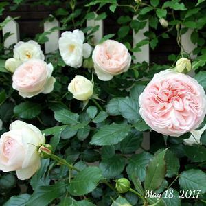 バラとグリーンカーテン。それから久々の楽天買い回り♪ - park house note*