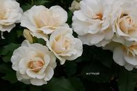rose garden 5 - aco* mode