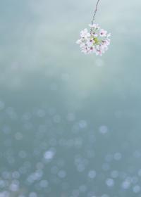 桜色        圧倒的桜 2017!  - ほほえみ