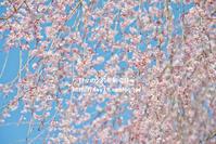 圧倒的桜。2017 - 日々の欠片を紡ぐ日々