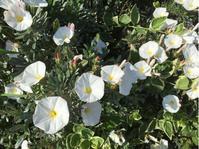 コンボルブルス・スノーエンジェルが咲き始めた♪ - パルシステムのある生活♪