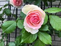 やっぱり大きな八重のバラ好きです。 - パームツリー越しにgood morning        アロマであなたの今に寄り添うブログ