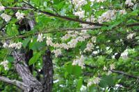 白い花の咲く木々 - ぶらり散歩 ~四季折々フォト日記~