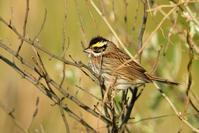 キマユホオジロ(Yellow-browed Bunting)/2017.05 - Birding