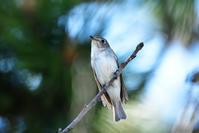 コサメビタキ(Brown flycatcher)/2017.05 - Birding