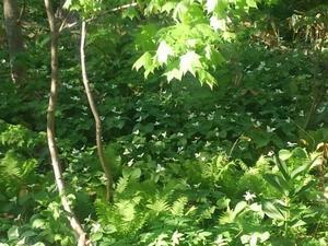 550、北大原生林のエンレイソウ群落 - 五十嵐靖之趣味の写真と短歌