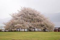 箱根 大島桜 - やさしい時間