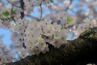 さくら・サクラ・桜 - やさしい時間