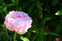 芍薬が咲きました - ぶん屋の抽斗