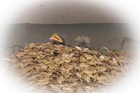 ツバメの赤ちゃん - あぴあみのポッケ
