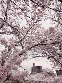 ブログに 桜の花を咲かせましょう〜♪♪ - るなとゆずと * 私の時間 ♪