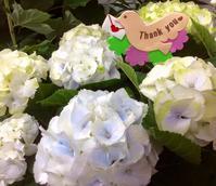 母の日の紫陽花 - coco diary 山口県 お花と絵とテーブルコーディネートレッスン