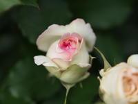 庭のバラ - エンジェルの画日記・音楽の散歩道