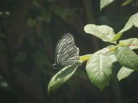 アカボシゴマダラ - 虫と一緒にバラ育て バラと虫たちの世界 小さな庭で