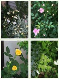 2017年5月下旬 我が家の植物たち - 空を見上げて フィスと一緒にくつろぐ日々