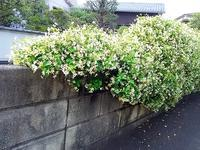 """""""テイカカズラ""""による塀の装飾 - 健気に育つ植物たち"""