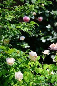 薔薇満開な庭  My Rose Garden 2 - お茶の時間にしましょうか-キャロ&ローラのちいさなまいにち- Caroline & Laura's tea break