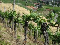 ドイツを代表する花崗岩のワイン - Wein, Weib und Gesang