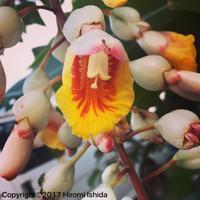 月桃の花 - 西表島の石やんのあれやこれや