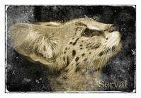 サーバル:Serval - 動物園の住人たち写真展