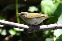 オオルリ・クロツグミ・ムシクイ - 今日の鳥さんⅡ