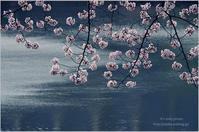 圧倒的桜。2017    -風が吹いて- - It's only photo