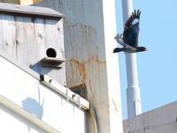 懲りずにブッポウソウ - いろ鳥撮り