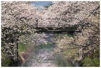 新江の桜並木 2 - 日々是好日 Here comes the sun.