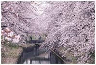 新江の桜並木 3 雨上がりの桜 - 日々是好日 Here comes the sun.
