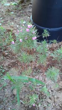 ボロニア開花 - うちの庭の備忘録 green's garden