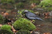 マミジロ 枝止まりも - 気まぐれ野鳥写真