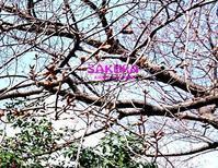 企画参加「桜」 - PHOTO俳句ブログ